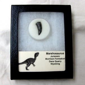 Fossil Jurassic Age Marshosaurus Dinosaur Tooth from Dana Quarry in Wyoming
