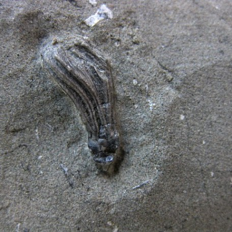 Fossil Mississippian Age Dichocrinus Crinoid Plate from Crawfordsville Indiana