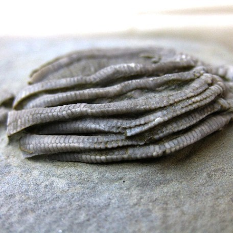 Fossil Mississippian Age Eretmocrinus Crinoid Plate from Crawfordsville Indiana