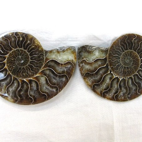 Fossil Cretaceous Age Cleoniceras Ammonite from Madagascar