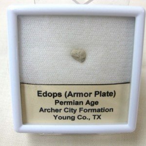 Fossil Permian Age Eedops Amphibian Armor Plate from Texas