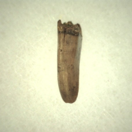 Fossil Cretaceous Age Albertosaurus Dinosaur Tooth from The Judith River Formation of Montana