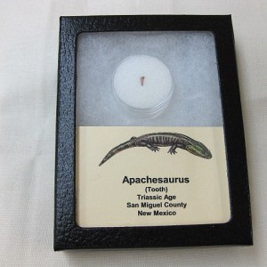 Fossil Triassic Age Apachesaurus Amphibian Tooth from New Mexico