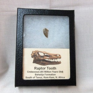 Fossil Cretaceous Age Raptor Dinosaur Tooth from North Africa