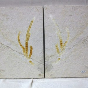 Fossil Jurassic Age Plant from the Solnhofen Limestone of Germany