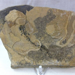 Fossils Permian Age Branchiosaurus Amphibian from Germany