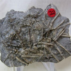 Fossil Mississippian Age Echinoid from Gilmore City Iowa
