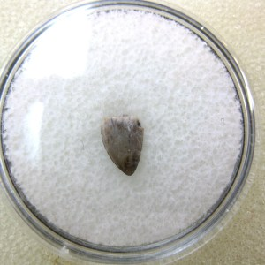 Fossil Triassic Age Hesperosuchus Reptile Tooth from The Bull Canyon Formation of New Mexico