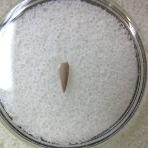 Fossil Permian Age Colobomycter Parareptile Tooth from Oklahoma