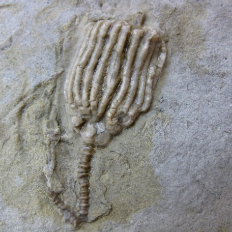Fossil Mississippian Age Crinoid Plate from Iowa