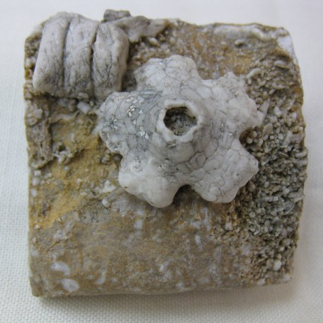 Fossil Mississippian Age Burlington Crinoid Plate from Missouri