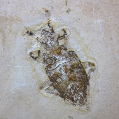 cretaceous brazil crato formation insect 107a