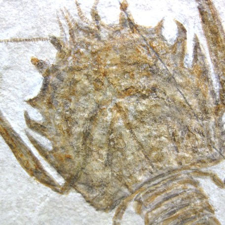 Fossil Jurassic Age Lobster from the Solnhofen of Germany