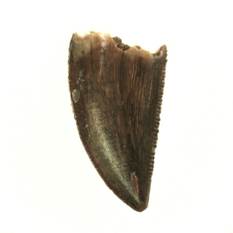 african cretaceous raptor tooth 34a
