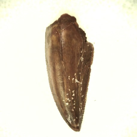 african cretaceous raptor tooth 51a