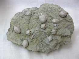Mississippian Age Fossil Pentremites Blastoids from the Ridenhower Formation of Illinois