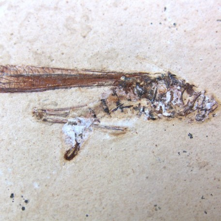 cretaceous crato insect 120a