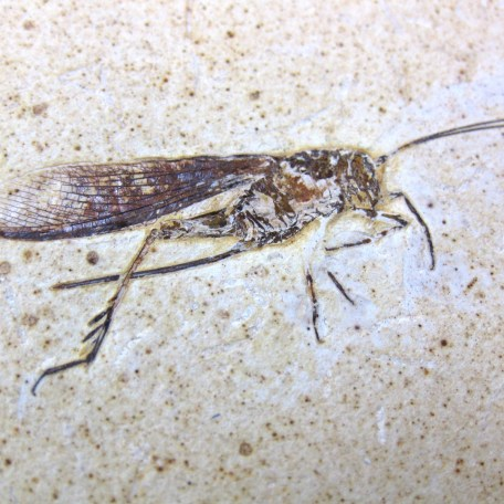 cretaceous crato insect 157a