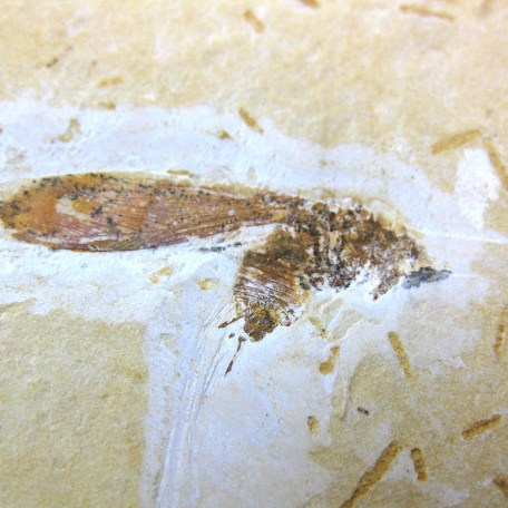 cretaceous crato insect 168a