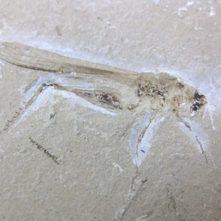 cretaceous crato insect 169a