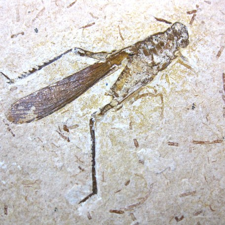 cretaceous crato insect 178a
