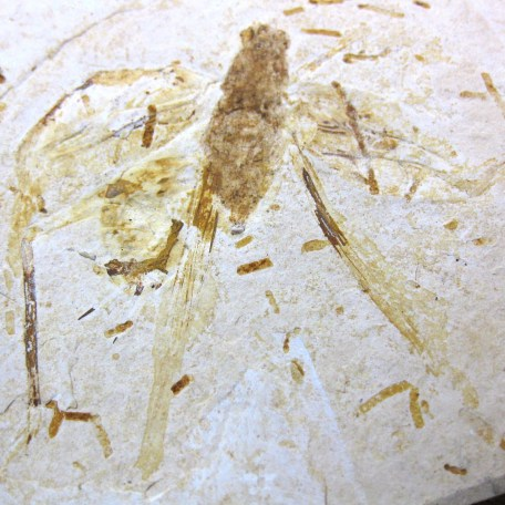 cretaceous crato insect 184a