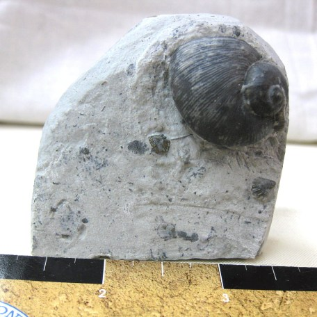 Fossil Silurian Age Platostoma Gastropod from the Waldron Shale of Indiana