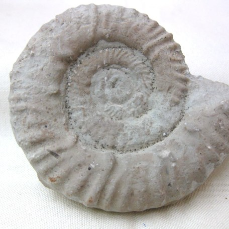 Fossil Jurassic Age Ammonite from Italy