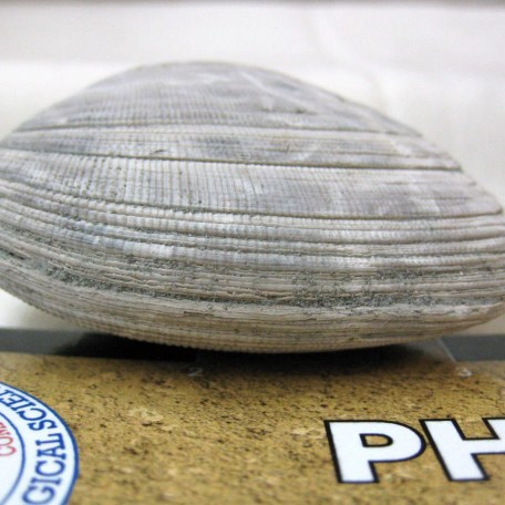 Fossil Pliocene Age Bivalve from Italy