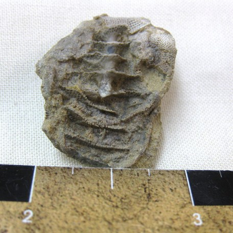 Fossil Mississippian Age Archimedes Bryozoa from Illinois