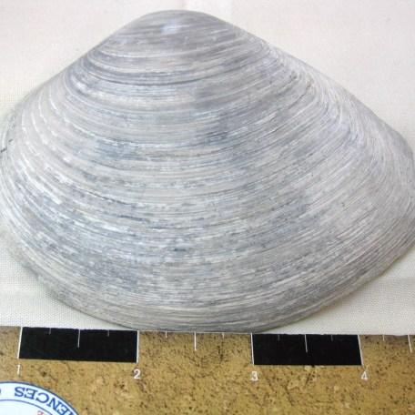 Fossil Pleistocene Age Bivalve from North Carolina