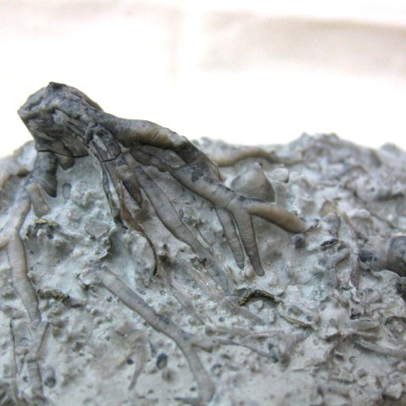 Fossil Mississippian Age Crinoid Holdfast - Root System from  Indiana