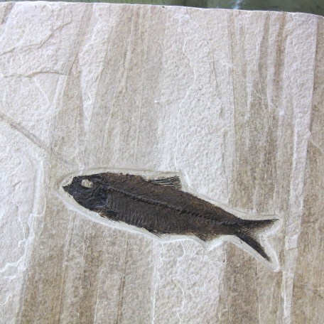 Fossil Eocene Fish on Partial Palm Frond from Wyoming