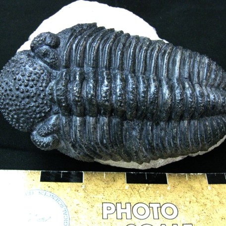 Fossil Devonian Age Drotops Megalomanicus Trilobite from North Africa