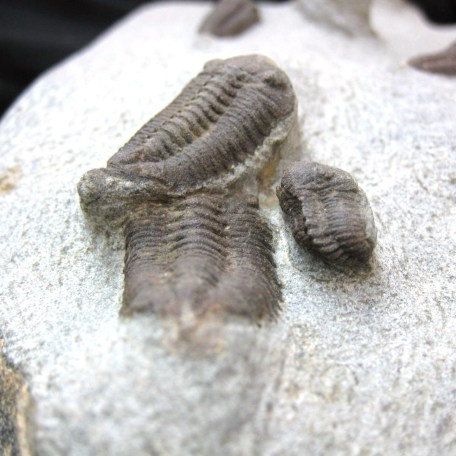 Fossil Ordovician Age Mass Mortality Trilobite Plate from North Africa