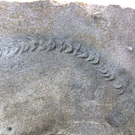 indiana mississippian trilobite track 17a