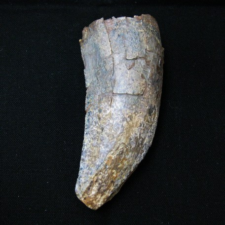 wyoming lance creek t-rex tooth 2a