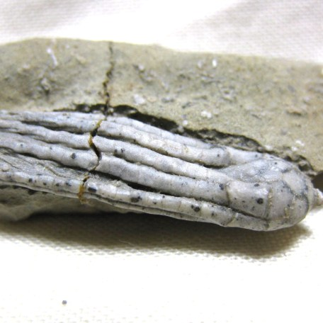 mississippian crawfordsville crinoid 22a
