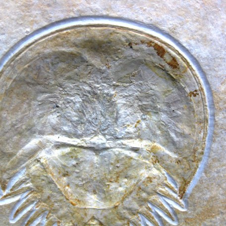 german jurassic solnhofen horseshoe crab 5b