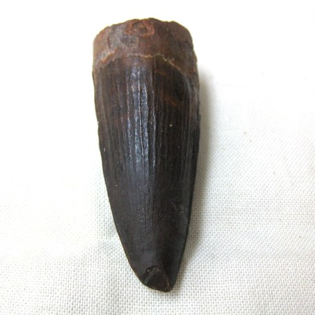 lg. cretaceous spinosaurus dinosaur tooth 55a