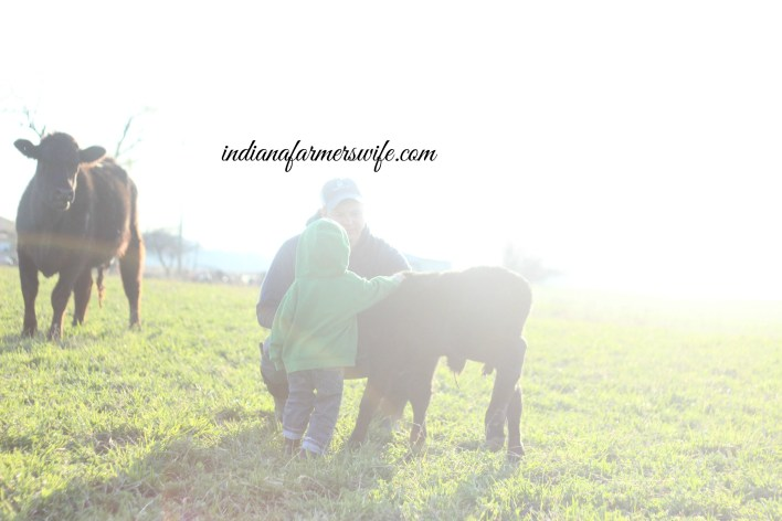 farm boy, calf, cow calf, father son, calving season, lim flex cows, cattle, pasture, green pasture, spring
