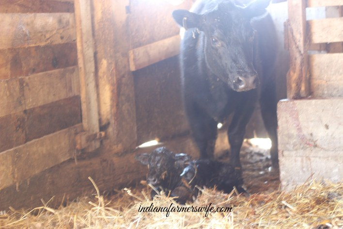 angus calf, cow calf, black cow, just born calf, straw