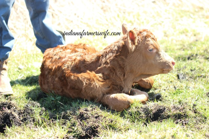 angus calf, just born calf, cow, calf , red cow, heifer, calving season