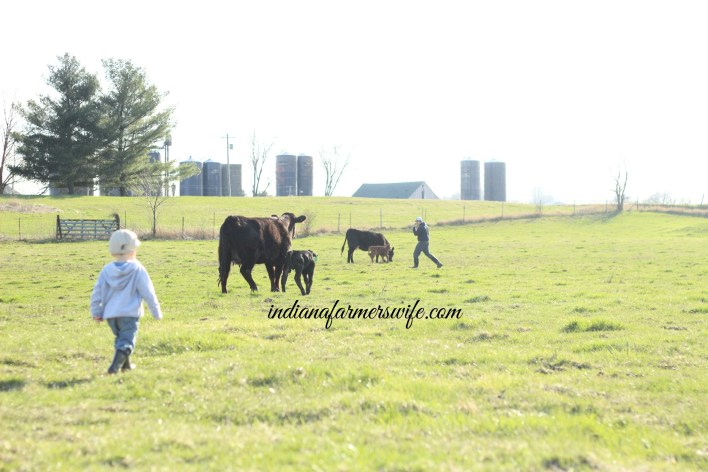 cattle farming with dad, father son, cattle, angus cattle, calving season, cows, calves, silos