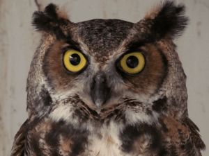 Tickle the Great Horned Owl