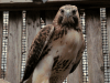 Toby Martin the Red-Tailed Hawk