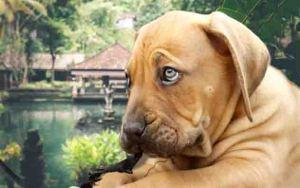 Boerboel dog