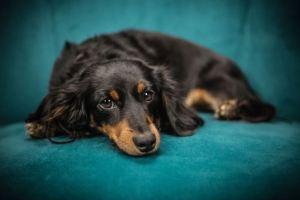 Dachshund dog breed in india
