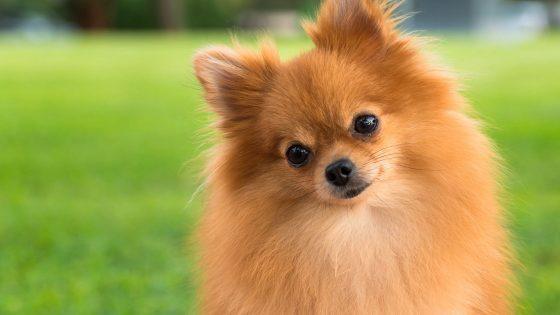Pomeranian price in India