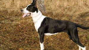 Kumaon Mastiff Vs Bully Kutta – Detailed info